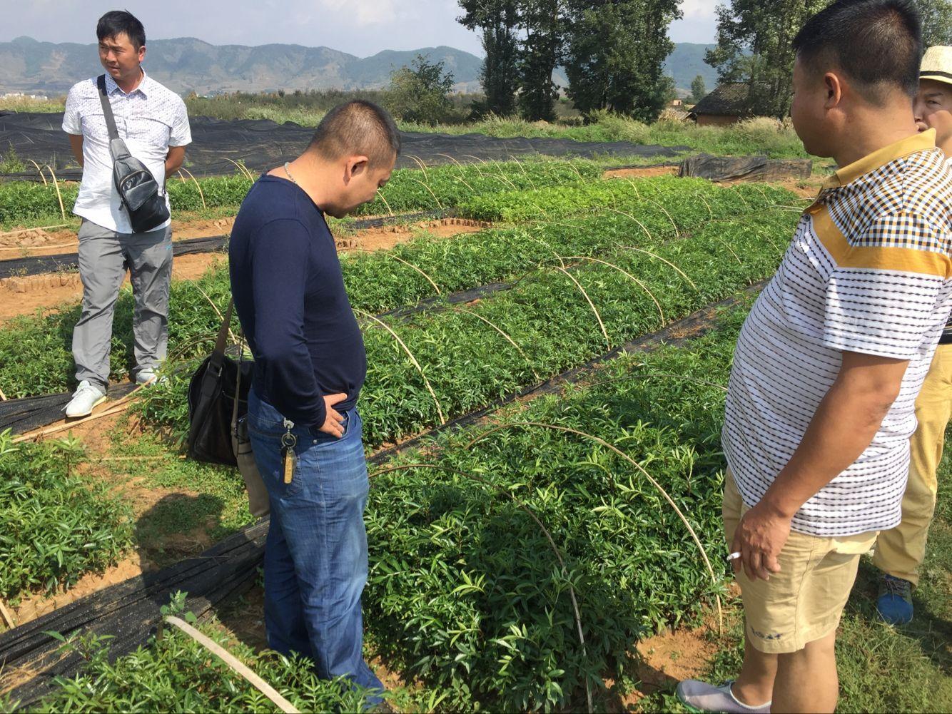 2016年10月6日红河州客户前来基地考察青花椒袋苗