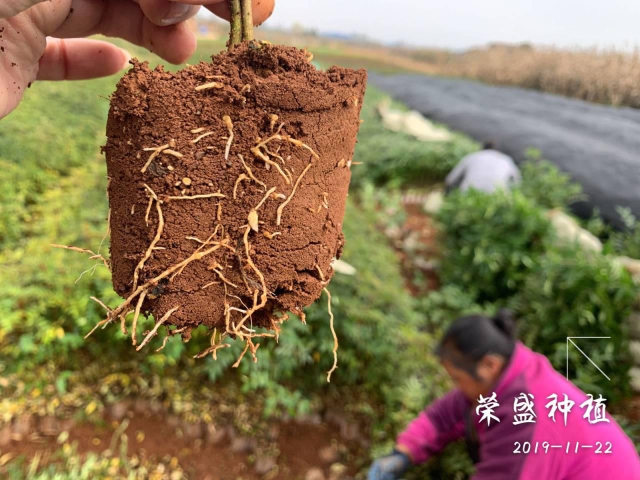 九叶青花椒树苗