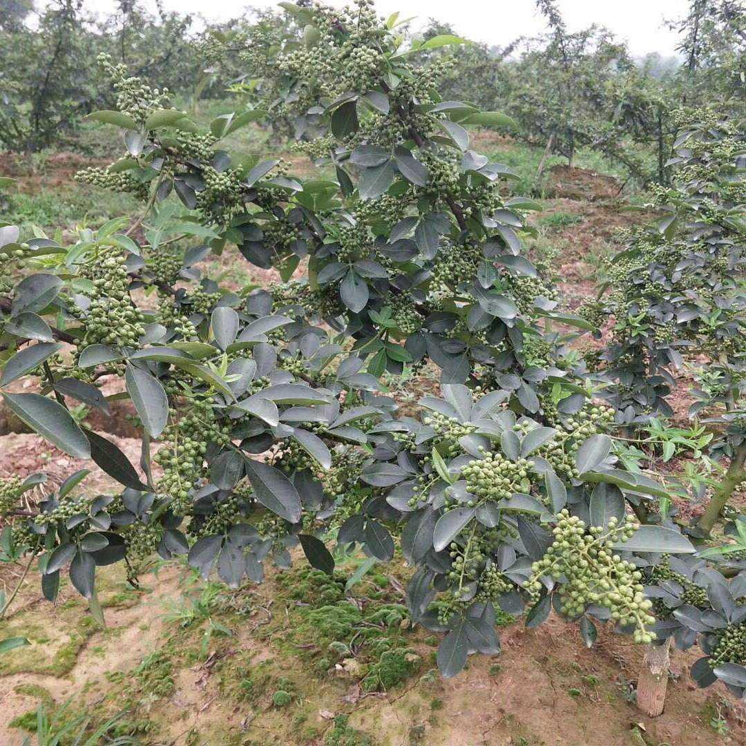 花椒有几个品种哪个品种好