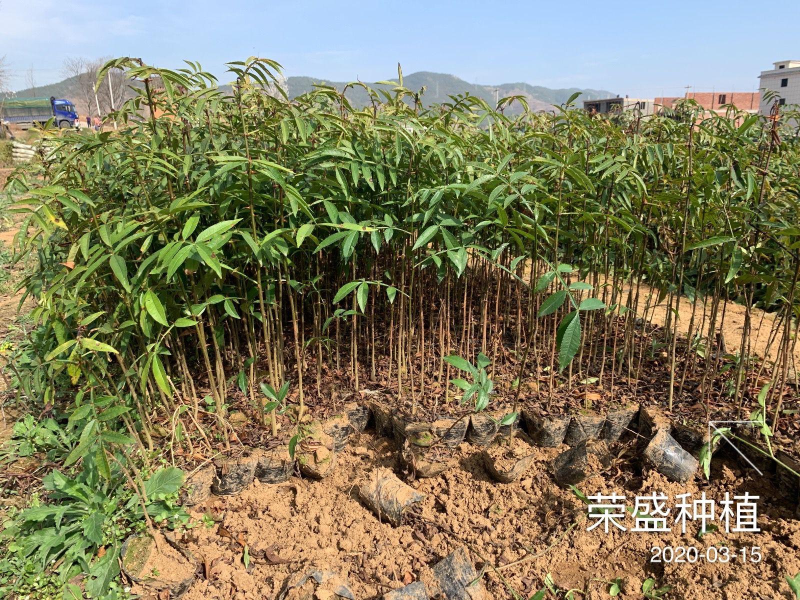 云南哪里有青花椒小苗销售#保山附近哪里有青花椒苗卖